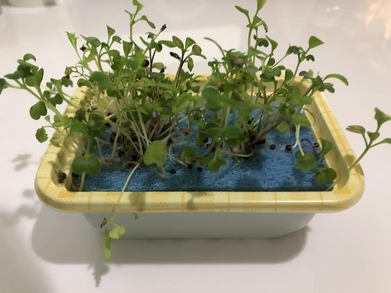 お家で育てる 簡単100均「水耕栽培」